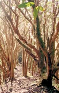 guava-tree-field